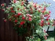 35-scheuren-rosen